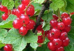 Grosella Alpina Frutas del Bosque