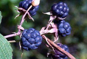 Zarza pajarera dewberry frutas del bosque