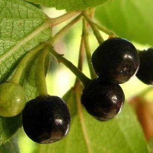 Maqui Maqui Berry Frutas del Bosque