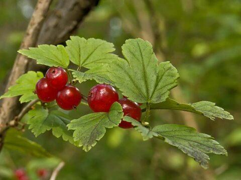 fruto del bosque grosella alpina ribes alpinum mountain currant or alpine currant