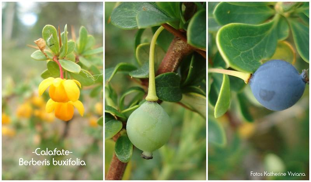 calafate flor fruta
