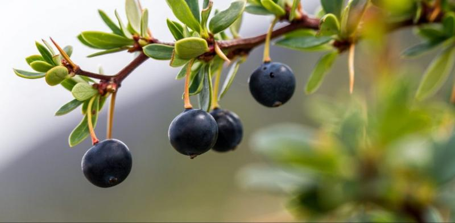 calafate antioxidantes dieta adelgazar