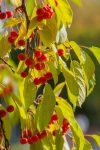 guindas arbol Prunus cerasus