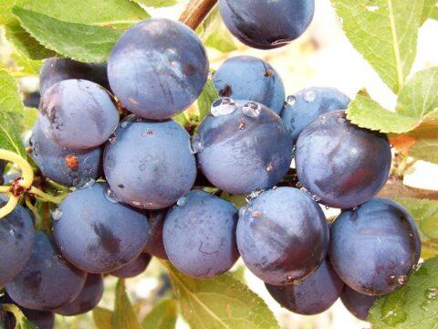 frutas endrinas