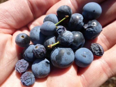 endrinas fruto Patxaran pacharan
