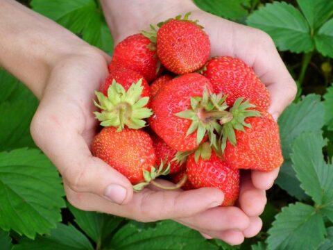 fresones o fresas comprar