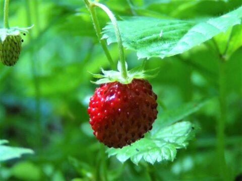 fragaria vesca planta fresas
