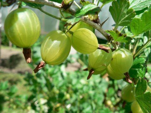 fruta del bosque Ribes uva-crispa grosella espinosa