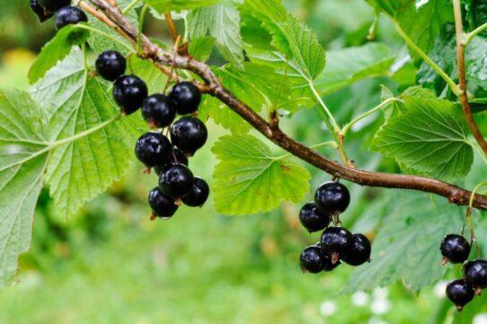 Ribes nigrum grosella negra