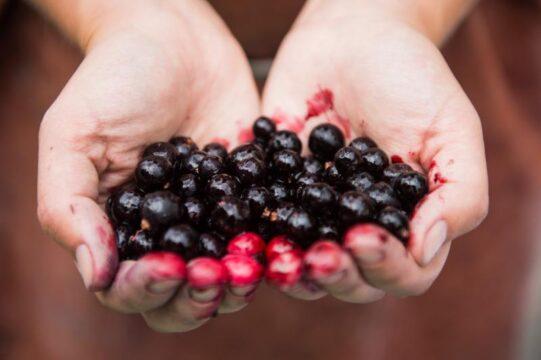frutos rojos fruta del bosque grosella negra