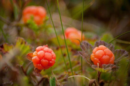mora de los pantanos beneficios antioxidantes