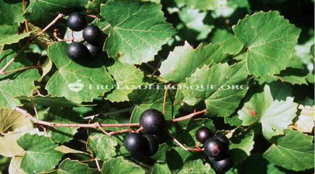 vitis rotundifolia muscadinia