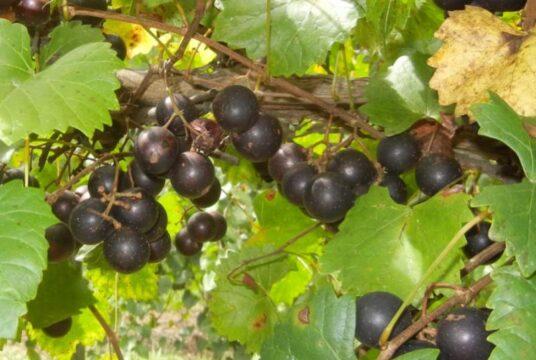muscadinia antioxidantes