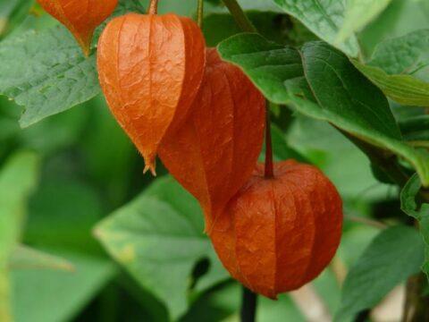 planta aguaymanto o Physalis peruviana