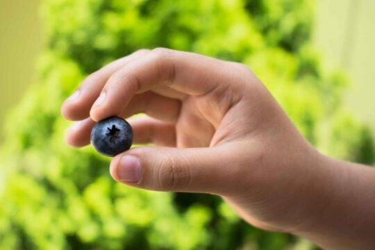propiedadeds y beneficios arandanos azules Vaccinium corymbosum