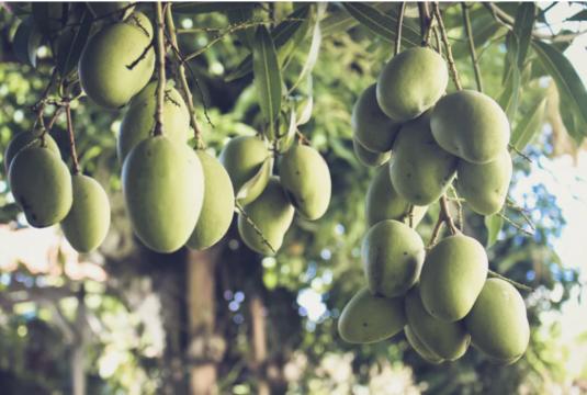 arbol mango planta de mango