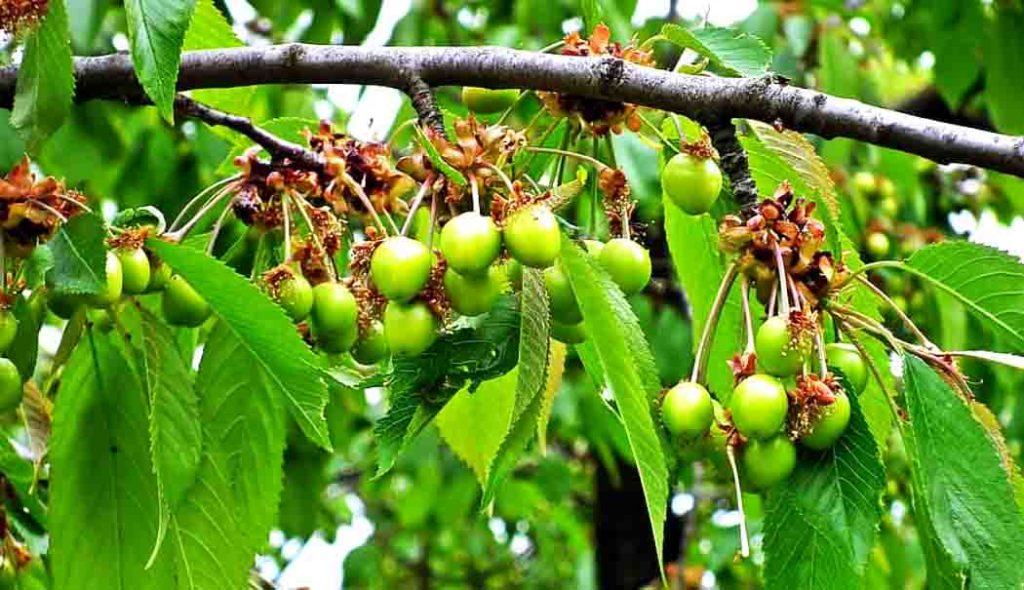 fruta-guinda-verde
