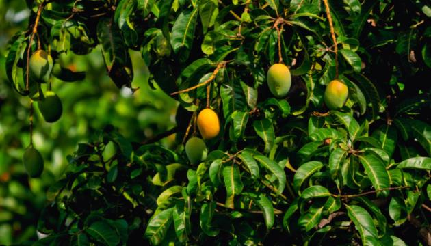 planta mango canarias