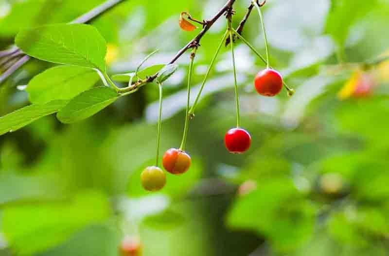 guinda fruta arbol