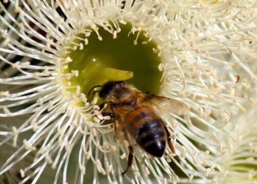 abeja flor eucalipto